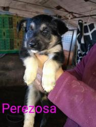 Perezosa